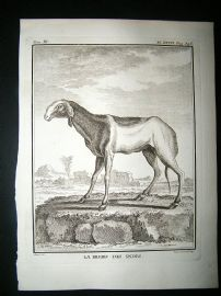 Buffon: C1770 Sheep of India, Antique Print